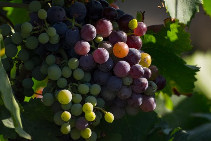 Виноград, виноград... Фото: Хава Тор/Великая Эпоха (The Epoch Times)
