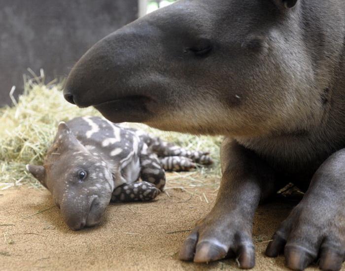 Малыш тапир со своей мамой в зоопарке в Амневиле, Франция. Фото: Jean-Christophe Verhaegen/AFP/Getty Images
