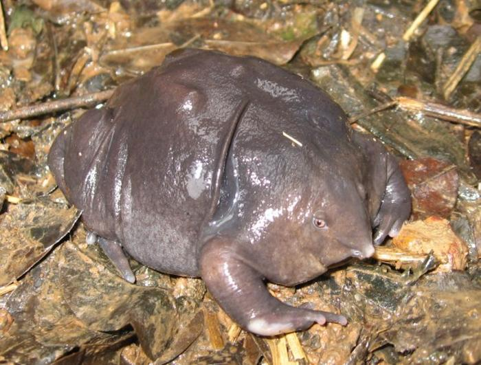 Индийская пурпурная лягушка. Фото: Nasikabatrachus sahyadrensis/ Wikimedia Commons