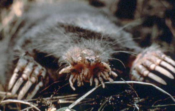 Звездонос. Фото: Wikimedia Commons