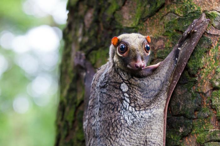 Малайский шестокрыл. Фото: Shutterstock*