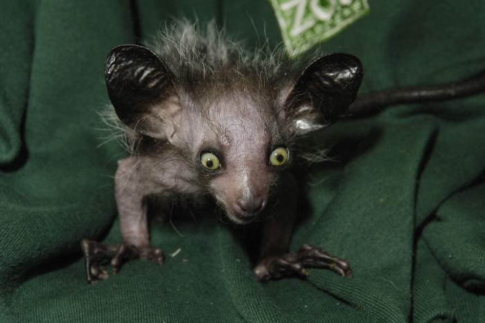Мадагаскарская руконожка Ай-ай. Фото: Rob Cousins/Bristol Zoo via Getty Images