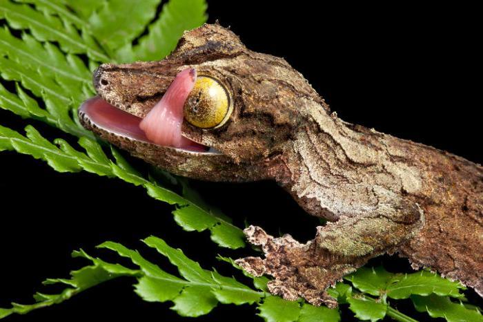 Листохвостный гекон. Фото: Shutterstock*