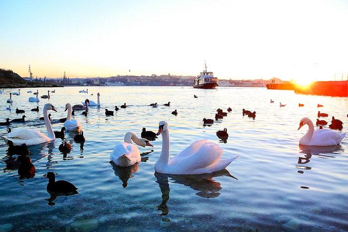 Лебеди в Севастополе. Фоторепортаж. Фото: Алла Лавриненко/Великая Эпоха (The Epoch Times)