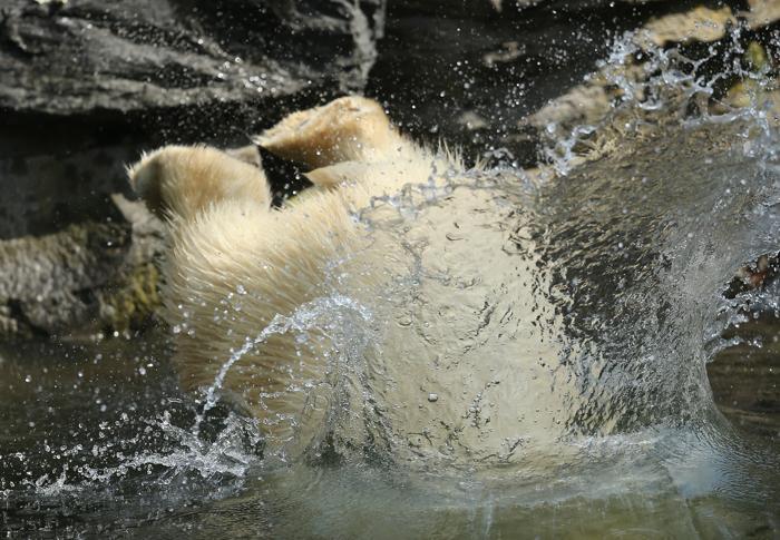 Полярный медведь Володя в своём вольере в Берлинском зоопарке «Тиргартен» 23 августа 2013 года, Берлин, Германия. Фото: Sean Gallup/Getty Images