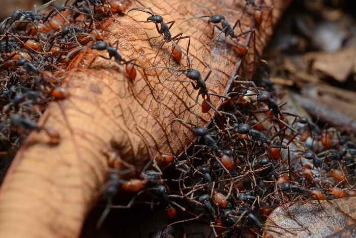 Африканские муравьи-кочевники. Фото: Wikimedia Commons