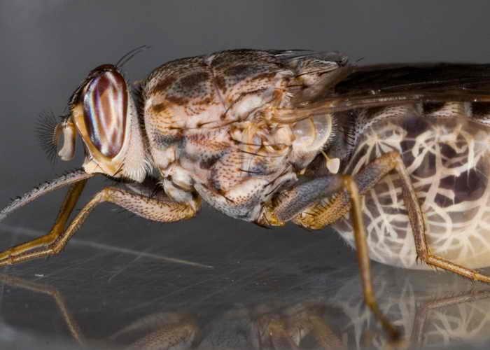 Муха цеце. Фото: Wikimedia Commons