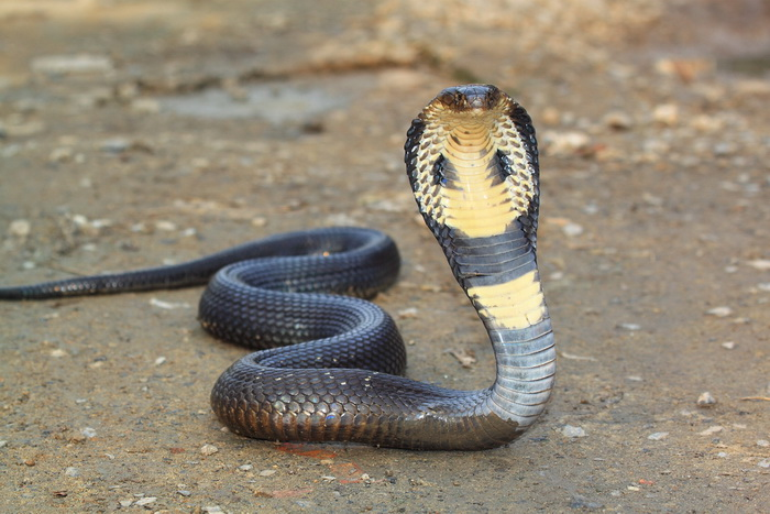 Королевская кобра. Фото: Shutterstock*