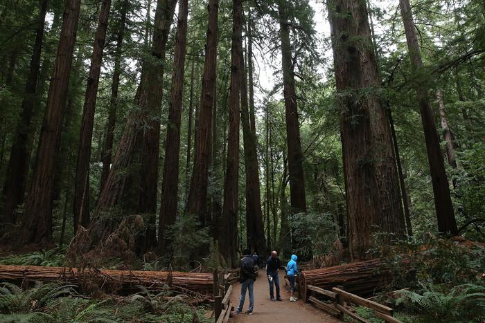 Секвойя в национальном заповеднике «Мьюирский лес» в Калифорнии 20 августа 2013 года. Фото: Justin Sullivan/Getty Images
