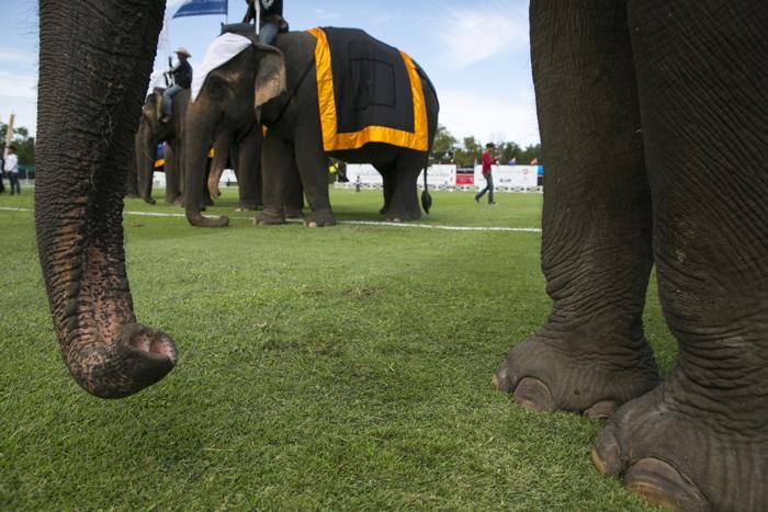 Традиционный благотворительный турнир на Королевский Кубок по поло на слонах стартовал на таиландском курорте Хуа Син 28 августа 2013 года. Фото: Paula Bronstein/Getty Images