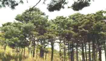 Кедровая сосна корейская, или маньчжурская. Фото: mgul.ac.ru