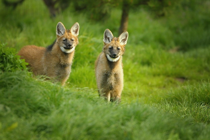 Щенки гривистого волка. Фото: Christopher Furlong/Getty Images