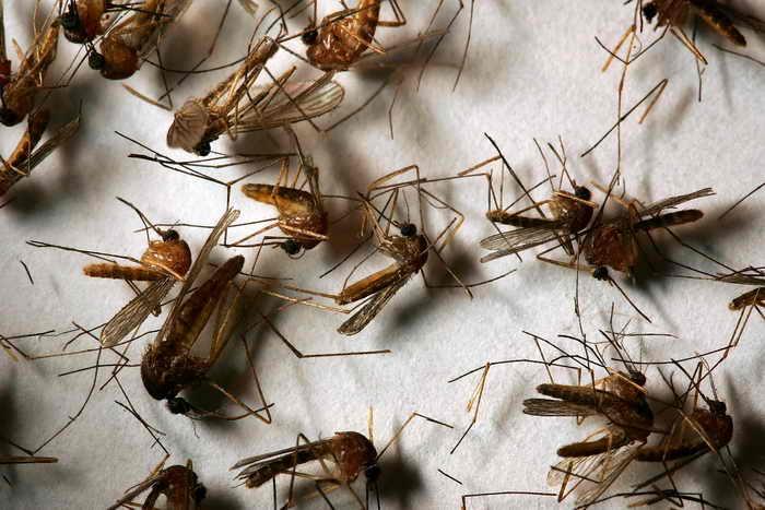 Комары-толстоножки не угрожают здоровью москвичей. Фото: David McNew/Getty Images