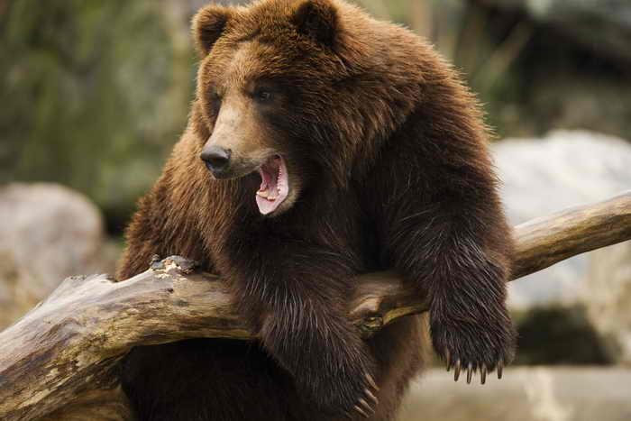 В Иркутской области медведи подходят к городам и посёлкам. Фото: DENIS SINYAKOV/AFP/Getty Images