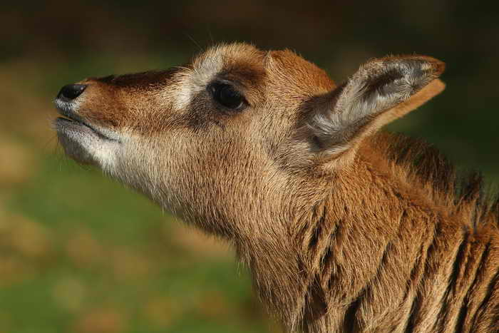 Жителей Приморья экологи просят не забирать маленьких детёнышей оленей и косуль из дикой природы. Фото: Sean Gallup/Getty Images