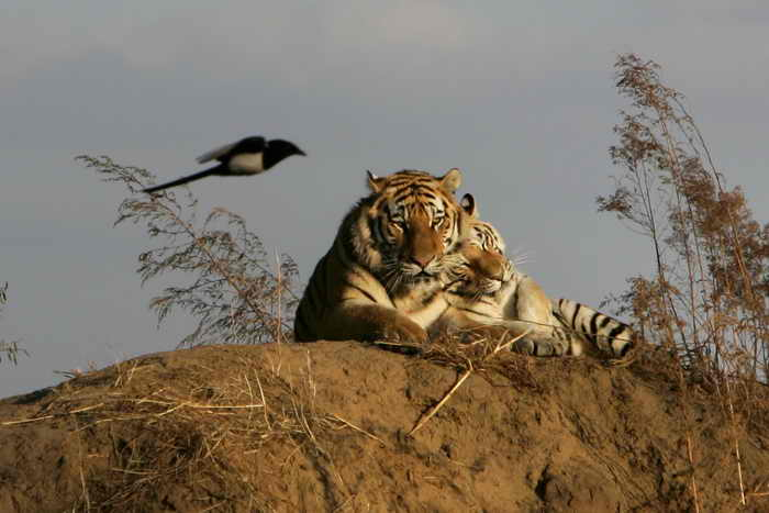 Амурские тигры в России обитают в Приморском и Хабаровском краях. Животные занесены в международную Красную книгу. Сейчас количество хищников составляет около 450 особей. Фото: China Photos/Getty Images