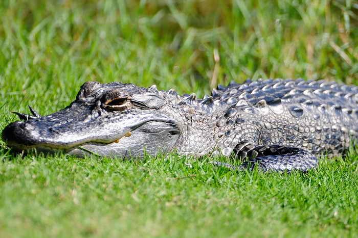 В штате Флорида аллигатор помог полицейскому задержать правонарушителя. Фото: Sam Greenwood/Getty Images