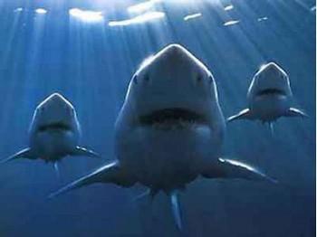 Нападение акул на людей в Приморском крае продолжается. Фото с vestipk.ru