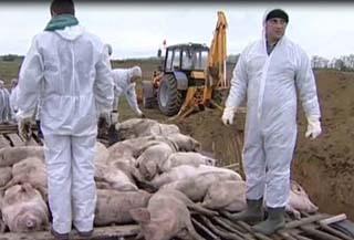 Африканская чума свиней вспыхнула в Нижегородской области. Фото с allnewspoint.com