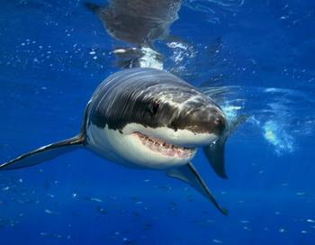 Акула напала на человека в хасанском районе Приморского края. Фото с сайта webpark.ru