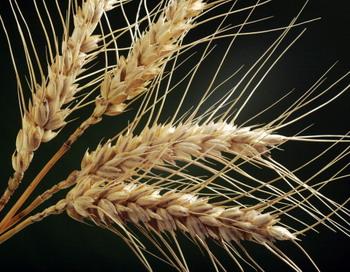 На 1 июля в России было собранно с площади 22 млн. га 58 млн. тонн зерна.Фото: JEAN-PIERRE MULLER/AFP/Getty Images