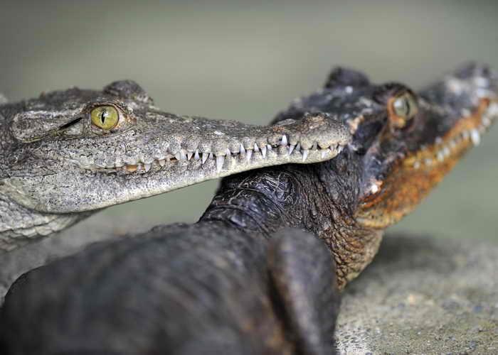 В Краснодарском крае появилась крокодилья ферма. Фото: YURI CORTEZ/AFP/Getty Images