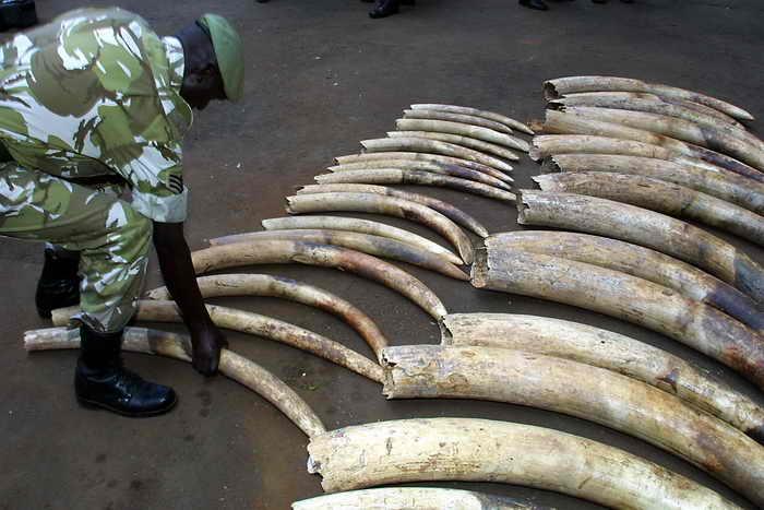 Время смерти слонов экологи научились определять по следам углерода-14 в их бивнях, это поможет выслеживать браконьеров в Восточной Африке. Фото: SIMON MAINA/AFP/Getty Images