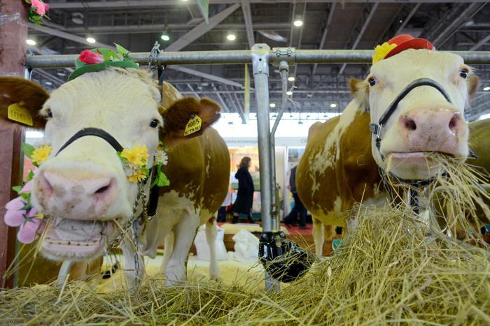 Коровы обедают на 15-й Национальной выставке сельского хозяйства «Золотая осень 2013» в Москве 9 октября 2013 года. Фото: KIRILL KUDRYAVTSEV/AFP/Getty Images