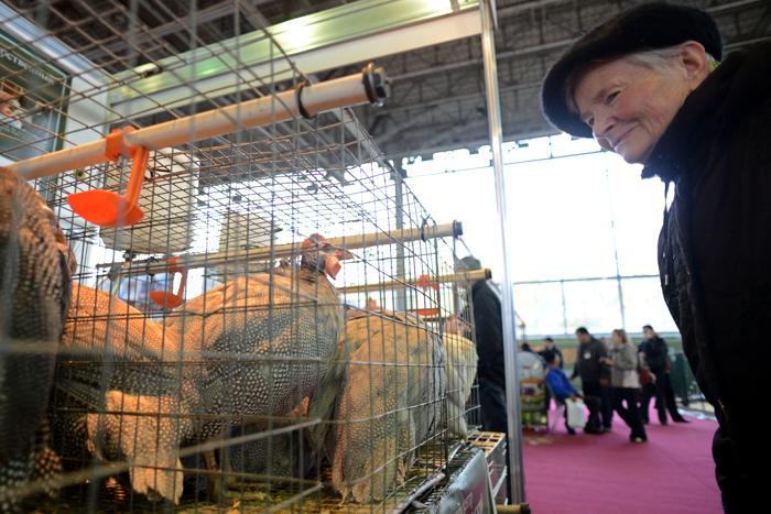 Красавцы индюки на 15-й Национальной выставке сельского хозяйства «Золотая осень 2013» в Москве 9 октября 2013 года. Фото: KIRILL KUDRYAVTSEV/AFP/Getty Images