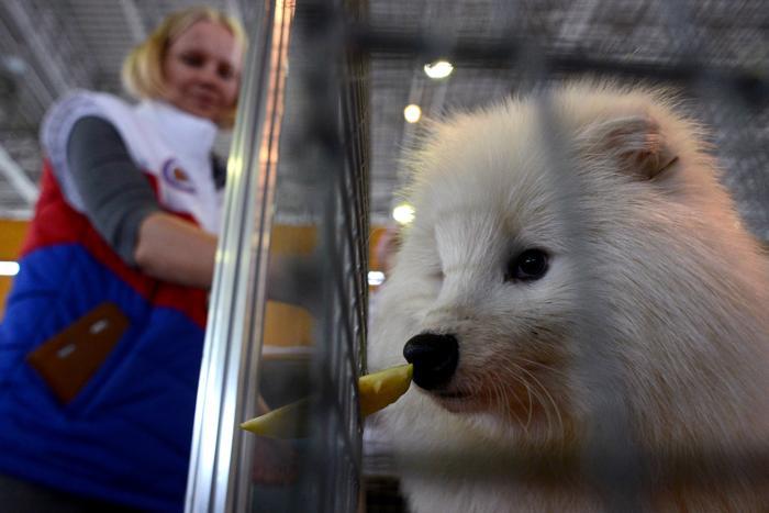 Енотовидная собака на 15-й Национальной выставке сельского хозяйства «Золотая осень 2013» в Москве 9 октября 2013 года. Фото: KIRILL KUDRYAVTSEV/AFP/Getty Images