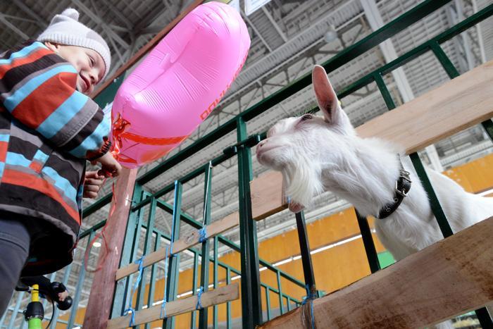Мальчик и коза знакомятся друг с другом на 15-й Национальной выставке сельского хозяйства «Золотая осень 2013» в Москве 9 октября 2013 года. Фото: KIRILL KUDRYAVTSEV/AFP/Getty Images