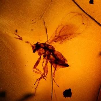 Смоляная оса (Chalcidoidea). Фото: Georg-August-Universitat Gottingen