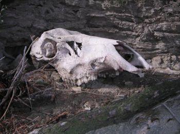 Миллер и его коллеги обнаружили останки лося, во время своих исследований парка Йеллоустоун и изучения его экосистемы. Фото: Scott Rose