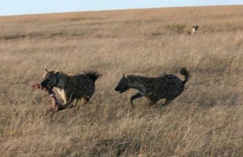 «Отдай мне еду»: Две гиены «хихикают» о позвоночнике антилопы. Фото: BMC Ecology