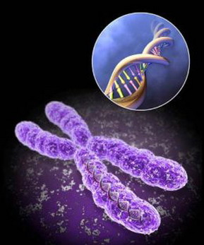Каждая клетка тела человека содержит в точности 46 хромосом. Фото с сайта medkniga