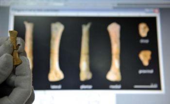 «Митохондриальная Ева», материнский предок всех людей, жила около 200 000 лет назад, На фото изображена 67 000-летняя кость ноги, найденная в 2007 году. (Ted Aljibe/AFP/Getty Images)