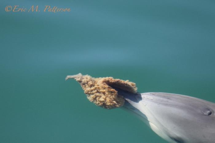 Впервые использование дельфинами морской губки было замечено в 80-х годах. Фото: Eric M. Patterson, monkeymiadolphins.org