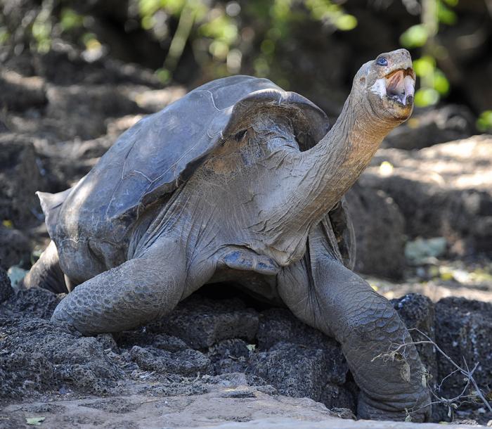 Гигантская слоновая черепаха по кличке Одинокий Джордж. Фото: RODRIGO BUENDIA/AFP/Getty Images