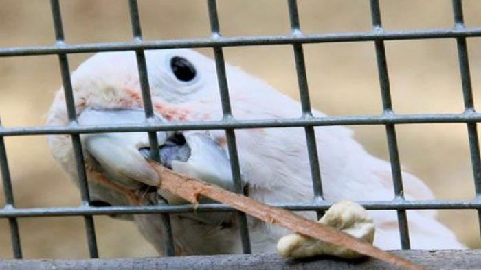 Какаду Фигаро достает орех с помощью изготовленной для этого палочки. Фото: science.apa.at