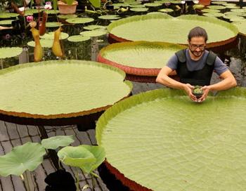 Карлос Магдалена, старший ученый-садовод в Королевском  ботаническом  саду в Кью, держит Nymphaea Thermarum  -  самую маленькую  разновидность водяной лилии в мире, с листом  всего 1см в диаметре. Вокруг - гигантские водяные лилия Виктория.  Фото: Oli SCARFF/Getty Images