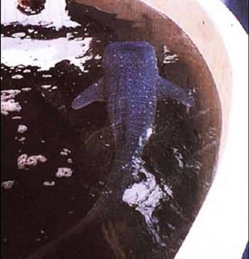 Самый крупный из 304 эмбрионов оказался уже жизнеспособным вне матки, а ещё два сохранялись в аквариумах в течение нескольких месяцев. Фото с сайта theepochtimes.com
