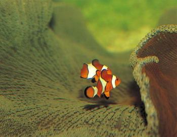 Поиск дома на слух: исследования показывают, что коралловых рыб в районах с высоким уровнем шума могут привлекать искусственные помехи. Фото с сайта Photos.com