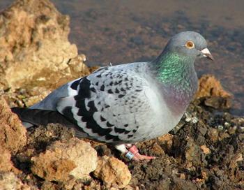 Почтовый голубь: последние исследования показали, что правая ноздря играет важную роль в навигации голубей. Фото с сайта theepochtimes.com