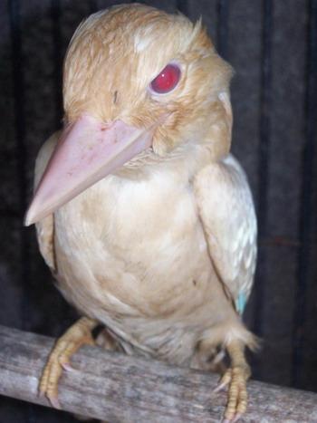Альбинос кукаберра - один из двух редких синекрылых птенцов сейчас благополучно живет в  «Орлином гнезде». Фото с сайта theepochtimes.com