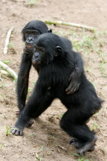 Обнаружено, что бонобо охотно делятся пищей с другими. Фото: Issouf SANOGO/AFP/Getty Images