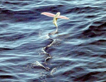 Летучая рыба: новое исследование обнаружило, что летучая рыба может скользить по воде, как некоторые птицы. Фото с сайта theepochtimes.com