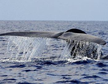 Профессиональный певец: голубой кит плавает в глубоких водах вблизи  южного города Мирисса в Шри-Ланке. Обнаружено, что голубые киты издают звуки, близкие по высоте  и частоте звукам, издаваемым всеми особями из их популяции. Фото:Ishara S. KODIKARA/AFP/Getty Images