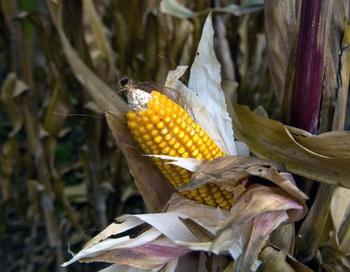 Кукуруза в Международном центре улучшения кукурузы и пшеницы в Тескоко, Мексика, 28 октября, 2009 года. Мексиканское правительство одобрило выращивание трансгенной кукурузы на полях Мексики. Фото с сайта theepochtimes.com