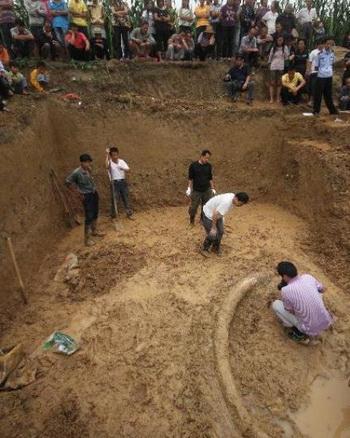 Бивень древнего слона гигантского размера, обнаружили в Китае. Фото с сайта news.cn