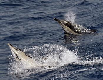 Дельфины снова удивляют человека своей похожестью с ним. Фото: ARIS MESSINIS/AFP/Getty Images)